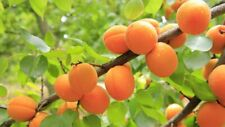 Delicious Apricot Fruit Tree Seeds Here For You!