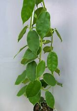 Hoya gigas [B29J1],1 pot rooted plant20-22 inchesUnique!