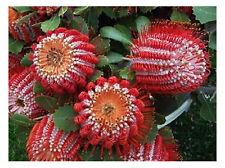 Scarlet Banksia (Banksia coccinea) - 10 Seeds