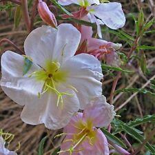 Pale Evening Primrose Flower Seeds (Oenothera Pallida) 100+Seeds