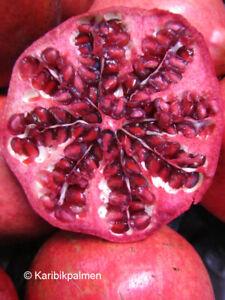 Punica granatum 'Rosso' - Granatapfelbaum - Pflanze 140-170cm Frost -12°