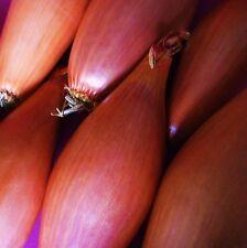 Oignon-long rouge FLORENCE - 1200 graines [la Toscane TORPILLE-Sweet Onion Rings]