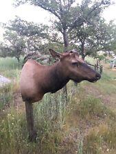 Elk Shoulder Mount/no Antlers