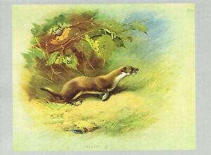 Weasel Vintage Animal Old Print Picture Archibald Thorburn 1974 TM#23