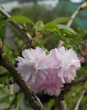 Japanische Hänge-Zierkirsche Kiku-shidare-Zakura - Japansiche Blütenkirsche - Ja