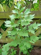 Organic Lovage Perennial 25 seed edible herb celery flavor great in soups salads