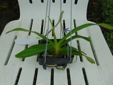 "Aerides rosea 4"" basket Fragrant Species"