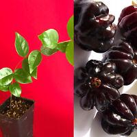 "Surinam Cherry Black Eugenia Uniflora Pitanga PLANT Fruit Tree Potted 3-7"""