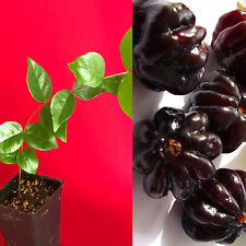 Surinam Cherry Black Eugenia Uniflora Pitanga PLANT Fruit Tree Potted 3-7""