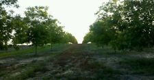 Grafted Cloned pecan trees 5-7'