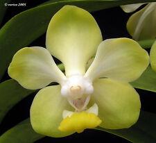Rare orchid hybrid seedling - Vanda Dearei