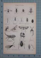 1880 Imprimir hemípteros agua Runner agua Barquero Chino Linterna volar Piojo