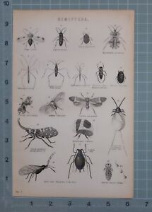 1880 Stampa Hemiptera Acqua Corridore Acqua Barcaiolo Cinese Lanterna Fly Louse