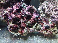 Live rock 60 lbs Premium Caribbean Saltwater Aquarium reef coral nano NR