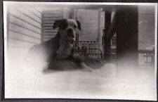 Vintage Photograph 1930'S Laying Down Boston Terrier Dog/Puppy Canada Old Photo