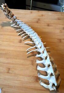 Muntjac Vertebrae/Spine