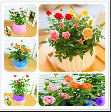 Mini Rose Bonsai Miniature Cute Plants 100 Pcs Seeds Garden Potted Flower New Y