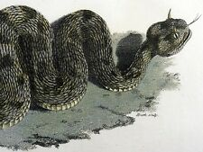 1801 Shaw - Cerastes Horned VIPER Snake - fine first impression in hand colour