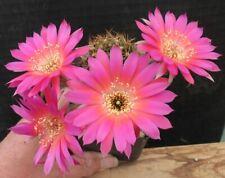 Echinopsis Lobivia Hybride True Love