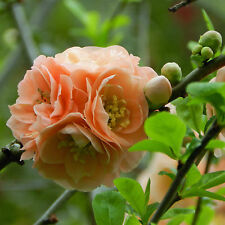 Spineless Chaenomeles speciosa japonica Japanese flowering Maule's Quince 8 Seed