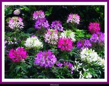 Graines de CLEOME fleur annuelle superbe
