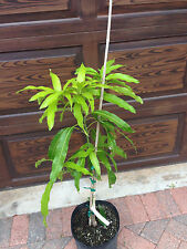 Carrie Mango Tree dwarf condo live plant grafted