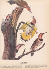 "1942 Vintage AUDUBON BIRDS #37 ""FLICKER"" Full Color Art Plate Lithograph"