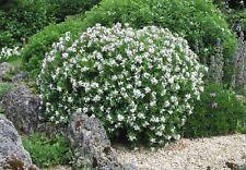 Daphne x transatlantica Eternal Fragrance - Daphne, Plant in 9cm Pot