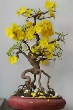 10 pcs/bag Jasmine Rare Yellow Flower Potted Bonsai Garden Flowers Seeds Indoor