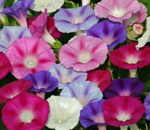 Morning Glory Seeds 25+ MIXED Flower USA FREE SHIPPING CLIMBING VINES