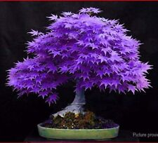 20Seeds Japanese Purple Maple Seed Tree Home Sakura Style Decor Plant Bonsai Pot