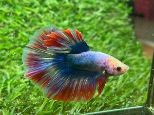 Live Betta Fish - Male - Fancy Halfmoon Betta HMPK , Age 4 month From Thailand