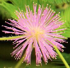 Reagiert auf Berührung: 100 Samen Echte Mimose (Mimosa pudica), Sinnpflanze