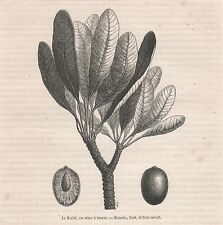 Antique print shea tree nut / nuts Vitellaria paradoxa / Le karité gravure 1883