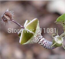 Ceropegia woodii seeds Flowers seeds World's Rare Flower Garden 20 seeds