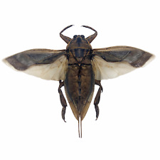 More details for giant water bug (lethocerus indicus) collector insect indonesia (spread)