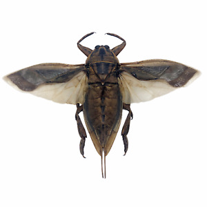Giant Water Bug (Lethocerus indicus) Collector Insect Indonesia (SPREAD)