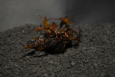 NYMPHAEA RUBA 1 BULB-Freshwater Aquatic Live Plants - SUPER PRICE !!!!!!