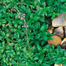 Graines Herbes-Pennyroyal - 2500 graines