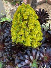 Aeonium Arboreum Zwartkop BLACK ROSE Succulent 1 Large Cutting