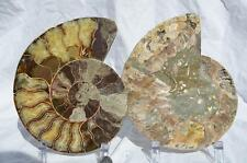 "1261nxx Cut Split PAIR Ammonite 190mm Deep Crystal Cavity 110my XXLG 7.5"" Fossil"