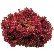 Lettuce Seeds LOLLA ROSSA 200 seeds Quick and easy to grow frilly red lettuce