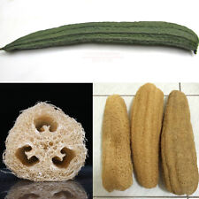 Luffa Gourd / Sponge Gourd 25 seeds *Heirloom*Non GMO* Natural Sponge CombSH H34
