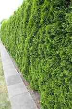 Thuja Smaragd 10st. 50-60cm im  Topf / Heckenpflanzen / % Super Sale %