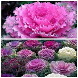 Seeds Flowering Kale Ornamental Cabbage Large-Leaved Fringed Mix Annual Flower