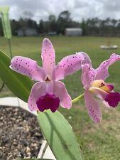 Orchid Plant C. Amethystog Lossa Rubra Silva a Renato. Bloomed.
