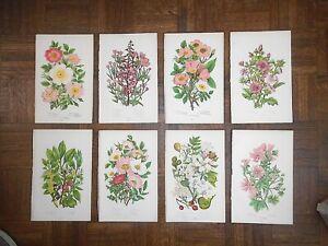 Antique Botanical Lithographs - Set of 8
