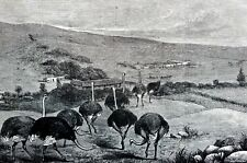 Ostrich Farm 1873 CAPE of GOOD HOPE SOUTH AFRICA Matted Harpers Engraving Print
