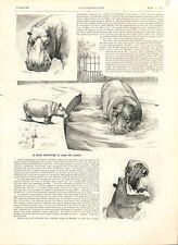 L'hippopotame du jardin des Plantes à Paris France GRAVURE 1896