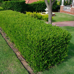 10 X BUXUS SEMPERVIRENS COMMON BOX BUSHY EVERGREEN HEDGING PLANT IN POT